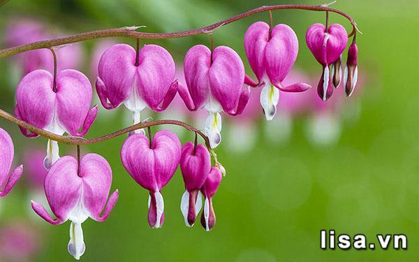 Khi hoa Tigon nở bung, cũng là lúc trái tim tan vỡ - lựa chọn tặng quà gì khi chia tay người yêu